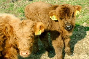 43_Highland-cattle_neu